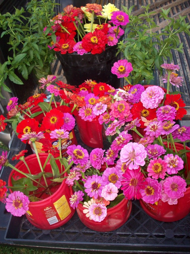 BUCKETS OF ZINNIAS FOR GH COLUMN JUNE 30